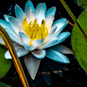 blue beauty by Deborah Murray - Flowers Single Flower ( lily, blue, green, yellow, leaves, insect, water lily, flower,  )