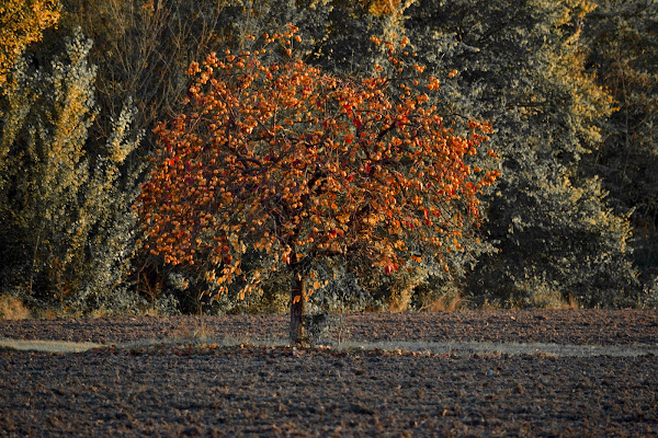 L'albero dei cachi di giuseppedangelo