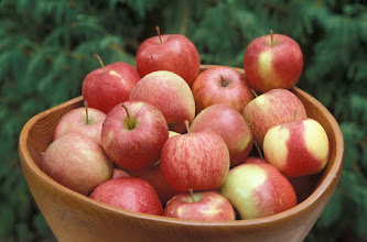 "Photo: 'Red Baron' apple variety developed by the University of Minnesota, Agricultural Experiment Station.  Released in 1970.  Minnesota Agricultural Experiment Station project #21-016, ""Breeding and Genetics of Fruit Crops for Cold Climates."""