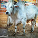 Ongole cattle