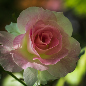 Pink Rose by Jane Helle - Nature Up Close Flowers - 2011-2013 ( plant, nature, petals, roses, still )