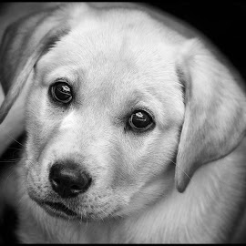 Fury by Dave Lipchen - Black & White Animals ( yellow lab )