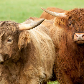 Curley & Moe by Dana Styber - Animals Other Mammals ( hairy, animals, long horns, red, scottish highland cattle, long hair, bovine, cattle )
