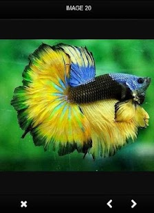 New Betta Fish Gallery - náhled