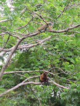 Photo: A howler monkey and an iguana share a tree.