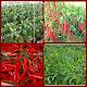 organic chili farming