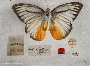 Photo: The butterfly Cepora iudith oberthueri collected by Wallace in Flores. The circular label is the type Wallace put on to insect specimens whilst in the field. © Oxford University Museum & Fred Edwards