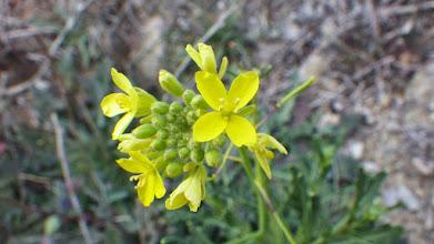 Photo: Endemismos: Diplotaxis harra subsp. lagascana Detalle flores.