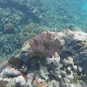Gorgonia ventalina