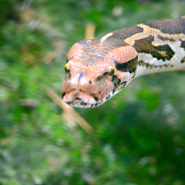 Snake World - 2 by Vijayanand Kandasamy - Animals Reptiles ( reptiles, snake, snake face, reptile, snakes,  )