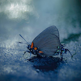 Large Purple Hairstreak by Don Kuhnle - Animals Insects & Spiders ( butterfly, cold, purple, florida, hairstreak,  )