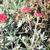Tufted Wild Buckwheat