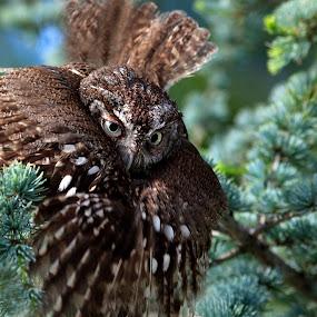 Screech Owl by William Rainey  - Animals Birds ( north america, birds, ouachita national forest, arkansas,  )