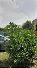Photo: - Voiniceriu japonez verde (Euonymus japonicus Microphylla) - de pe Str. Andrei Muresanu , spatiu verde - 2017.08.08
