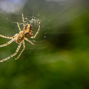 Common Orb Spider, iphone by Sam Shoesmith - Instagram & Mobile iPhone
