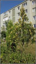 Photo: Thuia occidentalis din Turda, Str. Constructorilor, Nr.2 - 2019.09.06