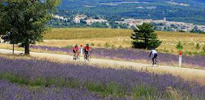 lavandes-et-cyclistes-au-pied-du-mont-ventoux