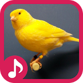 Canary Bird Sounds & Singing