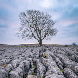Lone Tree and Limesone by Darrell Evans - Nature Up Close Trees & Bushes ( pavement, sky, yorkshire, countryside, grykes, karst, stone, outdoor, calcium carbonate, yorkshire dales, malham, limestone, clints, landscape )