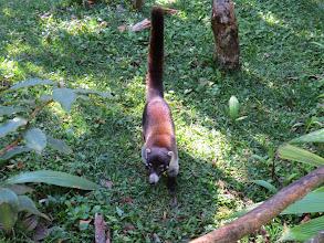 Photo: Coatimundi wasacclimated to people-- looks like a cross between a cat and raccoon.
