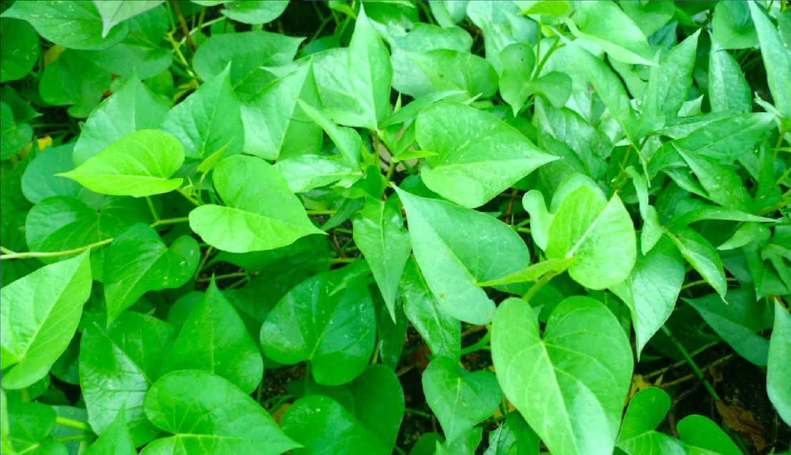 Sweet Potato Leaves Are A Good Source Of Vitamins: Study