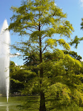 Photo: Taxodium distichum (ciprés de los pantanos)