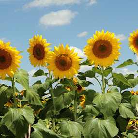 Sunflowers by Debbie Aird - Nature Up Close Flowers - 2011-2013 ( field, blue sky, sky, nature, sunflowers, beautiful, plants, yellow, large )