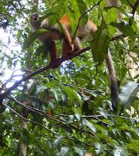 Photo: Squirrel monkey