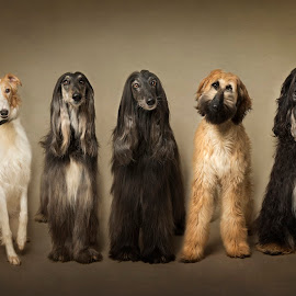 The Show Pack by Jude Stewart - Animals - Dogs Portraits ( afghan, dogsportrait, judithstewart, dogs, hound, fineart,  )
