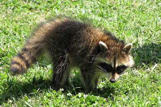 Photo: Young of the year -- this baby racoon has a plethora of food for growth at Starhill Forest