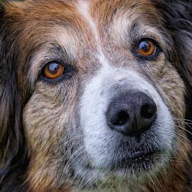 English Shepherd Dog - 6620 by Twin Wranglers Baker - Animals - Dogs Portraits (  )