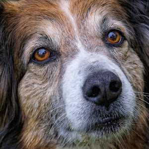 English Shepherd Dog - 6620.jpg