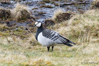 Photo: Barnacle Goose