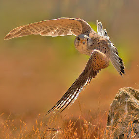 MALE KESTREL by Subramanniyan Mani - Animals Birds