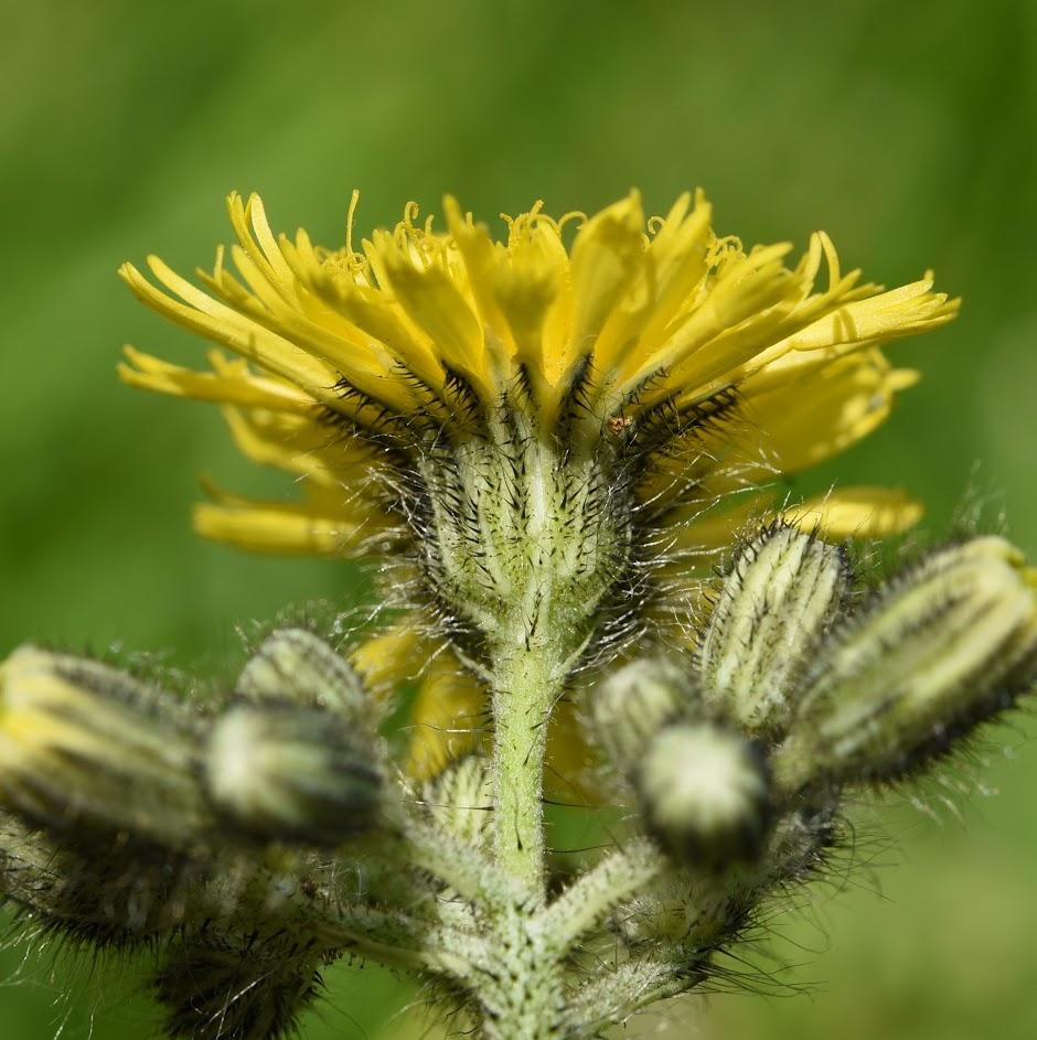 onderzijde lintbloemen en kelkblad