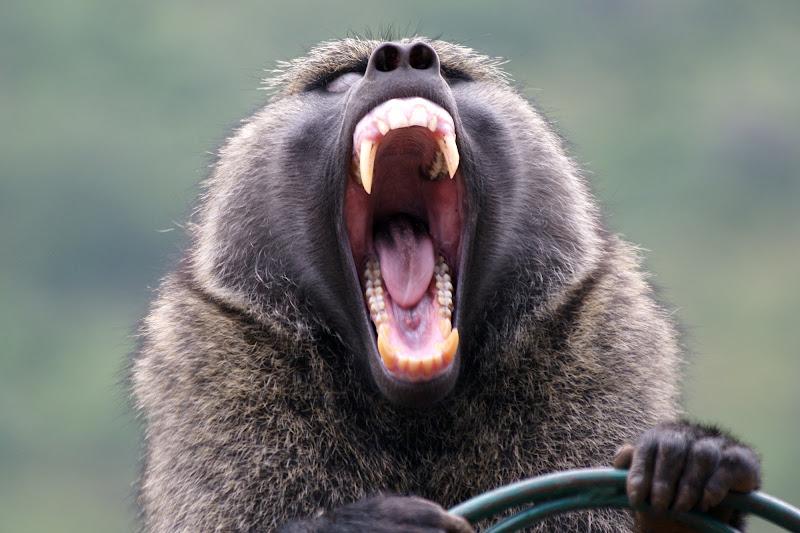 L urlo del babbuino di bruno.mezzadri