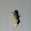 Eastern Grass-tubeworm Moth
