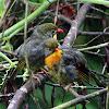 Red-billed Leiothrix Chicks
