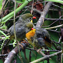 Red-billed Leiothrix Chicks