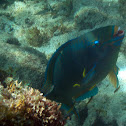 Queen Parrotfish (terminal)