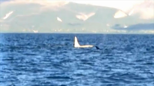 Iceberg the white killer whale