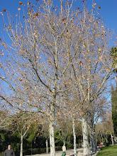 Photo: Plátanos de sombra (Platanus acerifolia o Platanus x hybrida) en invierno