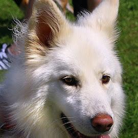 Gorgeous Girl by Chrissie Barrow - Animals - Dogs Portraits ( female, pet, german shepherd dog, ears, dog, nose, portrait, eyes )
