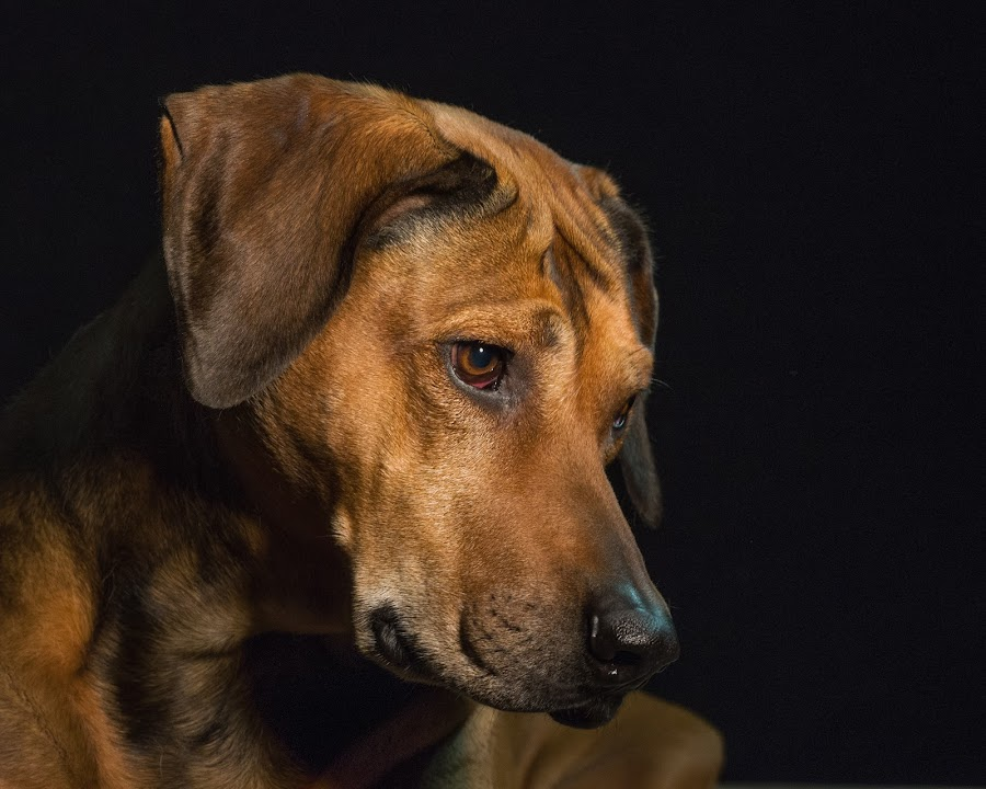Rooby by Linda Johnstone - Animals - Dogs Portraits ( brown eyes, rhodesian ridgeback, dog portrait, fur, dog portraits, dog )