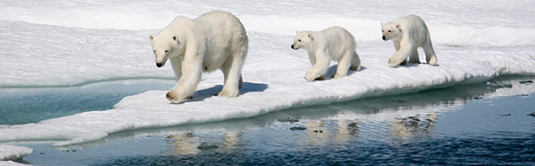 Polar bears in the Arctic: See them on a special Northwest Passage sailing on Crystal Serenity.