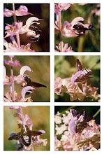 Photo: L'amour par intermédiaire !  La fécondation de la sauge sclarée par le xylocope - On remarque les anthères de la fleur qui s'abaissent pour déposer du pollen sur le dos de l'hyménoptère qui ira porter la semence sur une autre fleur. Lubéron (04) - mai - Appareil argentique avec jeu de bagues-allonge / obj 135 mm. 1972.  http://www.baladesentomologiques.com/article-xylocope-violace-abeille-noir-spectaculaire-bruyant-mais-inoffensif-122382431.html