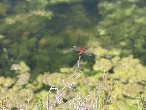 Photo: One of several Deltebre dragonfly species