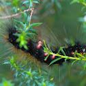 Tri Coloured Tiger Larvae