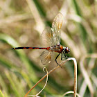 Four-spotted Pennant Dragonfly (immature female)