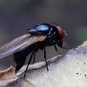 Ovipositing unknown Fly